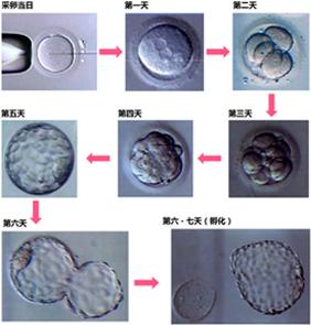 胚胎形成图